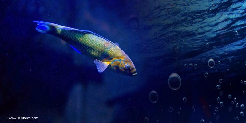 Peixe Cagão da Ilha da Madeira
